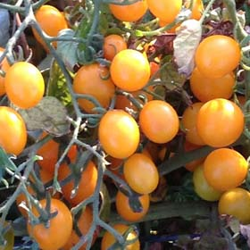 Orange Berry-Tomato Seeds