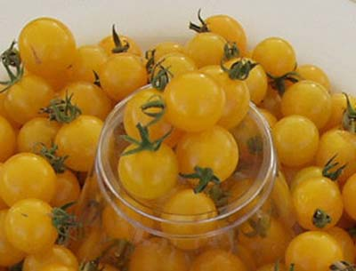 Tennessee Yellow Cherry