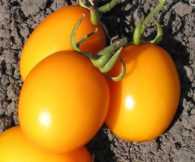 Yellow River-Tomato Seeds