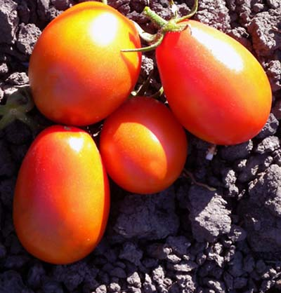 Oleron Red Plum