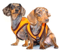 Tangerine Orange Classic Never-Choke Dachshund Harness