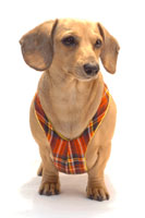 Stewart Plaid Winter Easy-Go Never-Choke Dachshund Harness