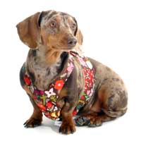Reversible August Garden Dachshund Harness