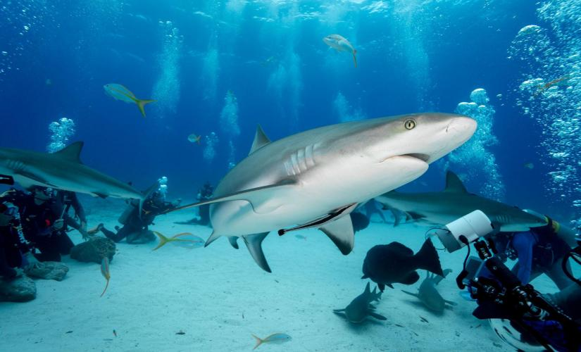 2 Tank Certified Reef Shark Dive in Nassau (Shark Wall, the Arena, the Runway)