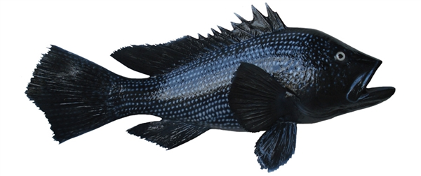 black sea bass fishmount