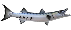 barracuda fishmount