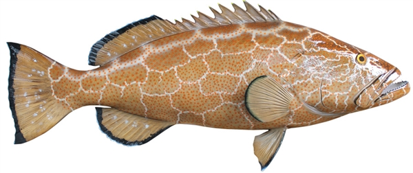 black grouper fishmount