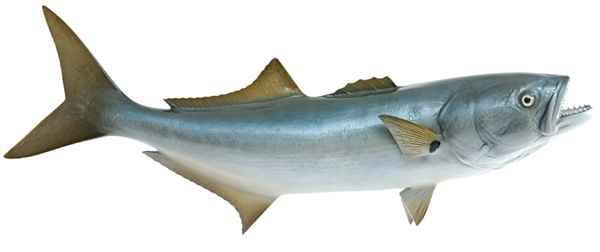bluefish fishmount