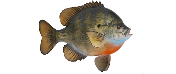 blue gill fishmount