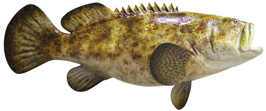 Goliath grouper fishmount for Goliath grouper fish