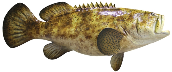 goliath grouper fishmount