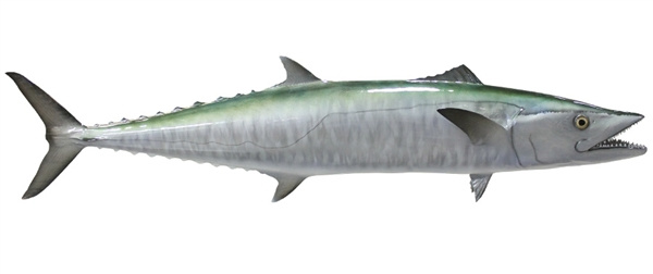 kingfish fishmount