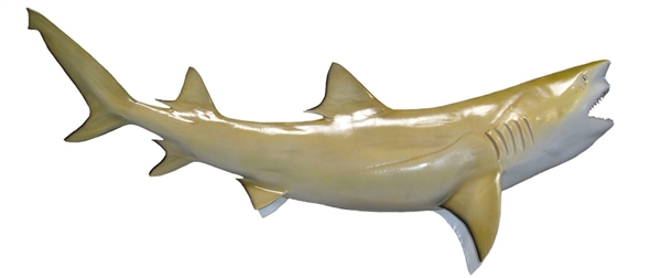 lemon shark fishmount