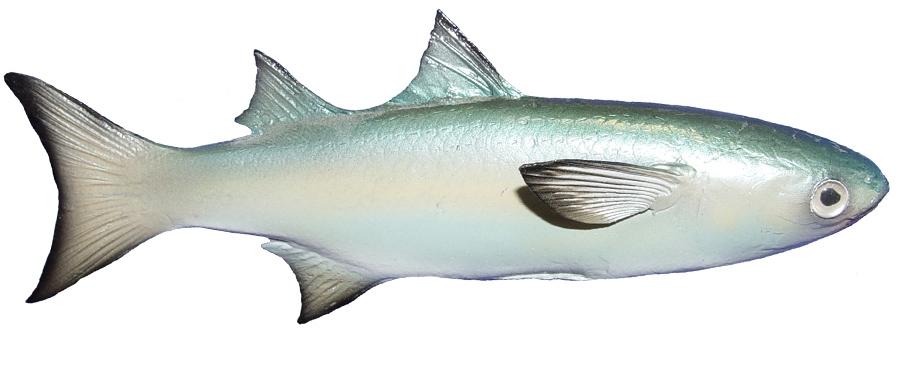 Mullet baitfish fishmount for Mullet fish florida