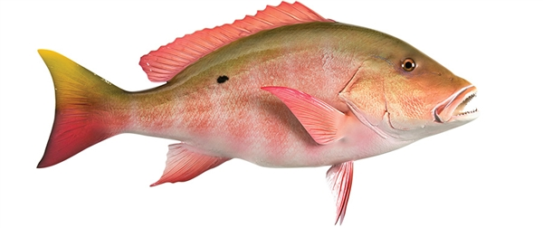 mutton snapper fishmount