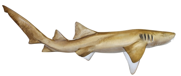 nurse shark fishmount