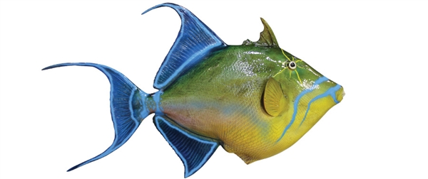queen trigger fish fishmount