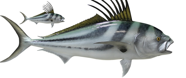 rooster fish fishmount