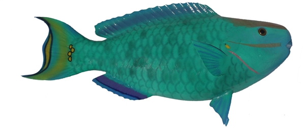 rainbow parrot fish fishmount