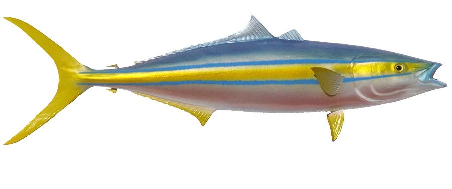 Rainbow runner fishmount for Blue runner fish