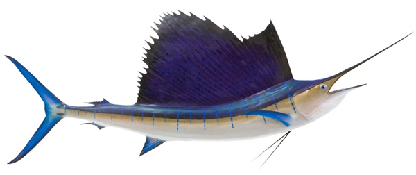 pacific sailfish fishmount