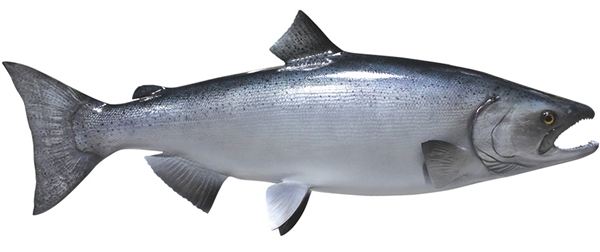 King chinook salmon fishmount for Salmon fish pictures