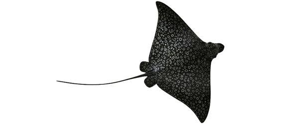 spotted eagle ray fishmount
