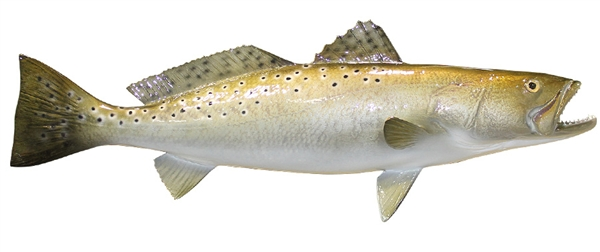 sea trout fishmount
