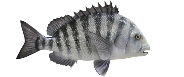 sheephead fishmount