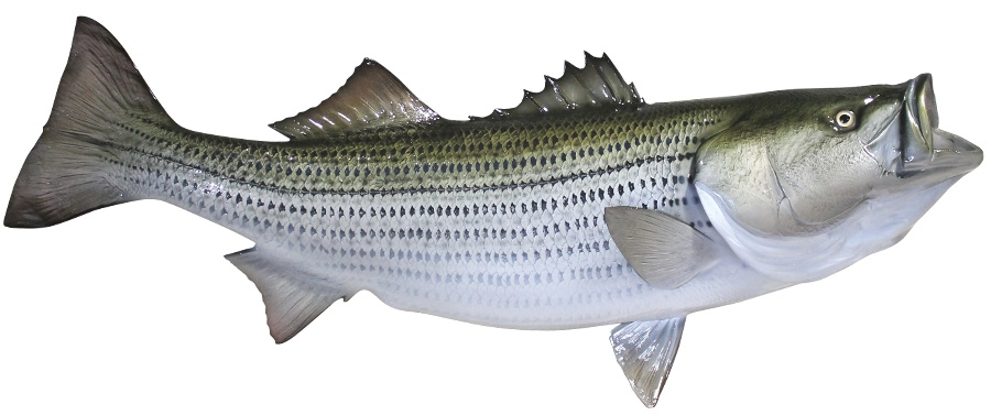 Striped bass fishmount for Fishing for striped bass
