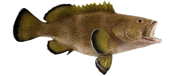 strawberry grouper fishmount