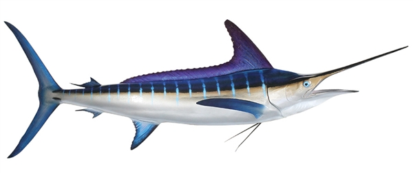 striped marlin fishmount