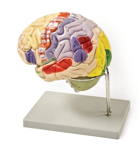 4 part color coded life size human brain model