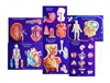 Human Body System Master Set of 6 Models