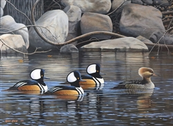 Hooded Mergansers By Mark Kness