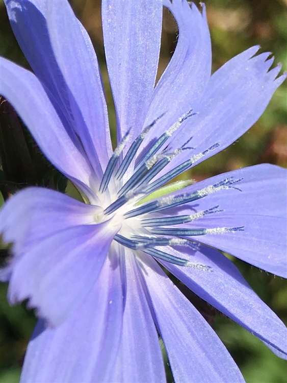 Blue Chicory by Mary Kate Egan