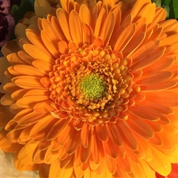 Orange Zinia by Mary Kate Egan