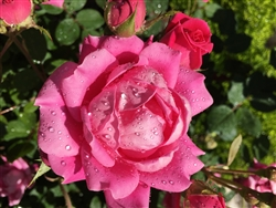 Pink Rose After a Rain by Mary Kate Egan
