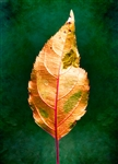 Portrait of an Autumn Leaf by Hal Halli