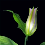 To Blossom a Lilly by Hal Halli