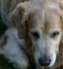 Care and Welfare of the Senior Dog - Certificate