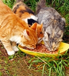 Feline Care and Nutrition - Diploma