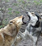 Canine Aggression - Diploma CPD