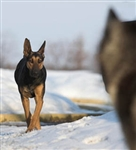 Canine Communication - CPD
