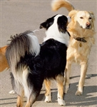 Higher Canine Behaviour and Psychology - Diploma - CPD