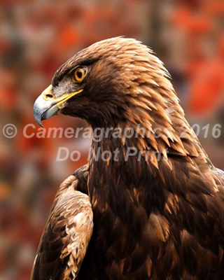 Auburn WAR EAGLE VII Nova looking fierce