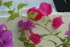 Bougainvillea Barbara Karst-Karst-Rose Red or Pink-Fuchsia