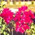 Bougainvillea San Diego Red--Red Blooms with green leaves