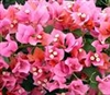 Bougainvillea Rosenka-Bicolor Gold Orange turns to Pink- green leaves