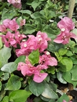 Bougainvillea Pink Dream-BLOOMS PINK WITH GREEN LEAVES